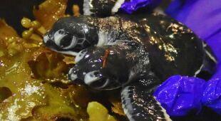 Żółw z dwoma głowami.