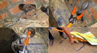 W Indiach schwytano kobrę indyjska