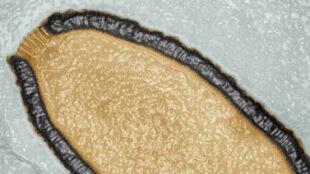 Odrodził się po 30 tysiącach lat hibernacji. Gigantyczny wirus znów infekuje