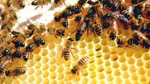 Historia miodem płynąca. Nasz bliski związek z pszczołami trwa od tysięcy lat