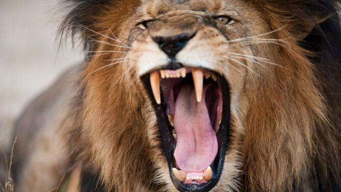 Lwy pożarły kłusowników. Znaleziono ludzkie szczątki, siekierę i trzy pary butów